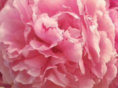 Testimonial - Stunning Peonies - FiftyFlowers.com