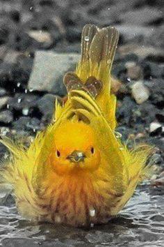 Yellow Warbler color splash