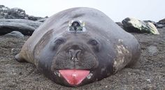 In an effort to accurately determine the rate of Antarctic ice melting, a team of scientists used several techniques to obtain direct observational data from the Fimbul Ice Shelf. One: They drilled tree holes in the ice and took measurements of the shelf's underside. Two: They used data collected by big, blubbery elephant seals. The [...]