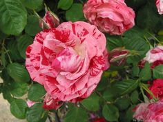 'Peppermint Swirl ' Rose Photo