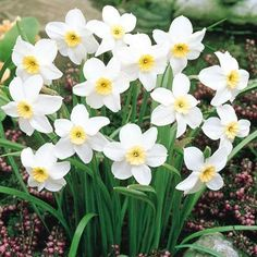Narcissi Segovia little scented narcissus, march-april