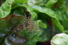 Baby spiders scattering in our chard patch