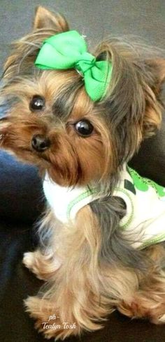 More On Yorkshire Terrier Teacup Source by The post Yorkshire Terrier Puppy Baby appeared first on Daisy Dogs. Teacup Yorkie, Teacup Puppies, Baby Puppies, Cute Puppies, Poodle Puppies, Yorkies, Yorkie Puppy, Chihuahua, Yorkshire Terriers