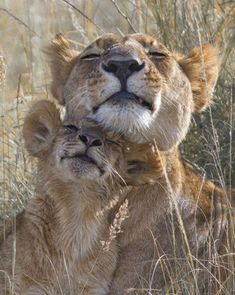Mama Lion and her cub loving on each other.