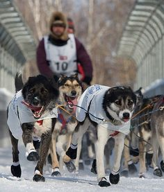 iditarod musher sled dog