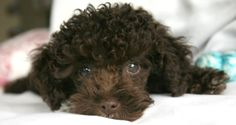 Dogs I'd Love to Give: For Austin, that black, toy poodle puppy you fell in love with as you were falling in love with my son!