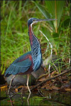 Agami Heron (Agamia agami) hunting | Flickr - Photo Sharing!