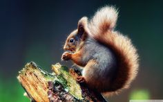 Fluffy squirrel Wallpapers | Pictures