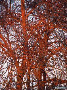 Encendido por el sol poniente: Los últimos rayos de sol caen sobre la Tierra casi tangencialmente, es invierno, los árboles desnudos se dejan calentar por el sol que se está poniendo.  Un auténtico espectáculo de la naturaleza, parece, el árbol, que se enciende reflejando la luz tenue que aún... Ver más... http://www.fotografiart.eu/encendido-por-el-sol-poniente/
