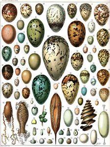 5994-Animal-Eggs-from-Naturalistic-POSTER-Interior-design-School-Decoration-Art