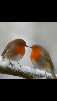 T T two robins kissing