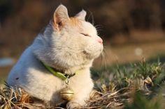 Shiro. cat blog