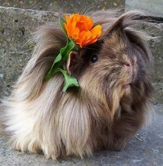 What a cutie. Guinea Pig with flowers