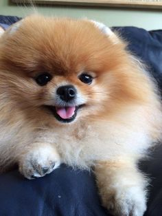 Delightful Comical And Sweet Pomeranian Ideas. Charming Comical And Sweet Pomeranian Ideas. Cute Puppies, Cute Dogs, Dogs And Puppies, Doggies, Beautiful Dogs, Animals Beautiful, Cute Baby Animals, Animals And Pets, Cute Pomeranian