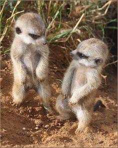 Adorable baby Meerkats!  Photographer nanaz555  MeerKat Love!