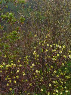 Fothergilla-Mt-Airy-with-Lindera-benzoin-on-May-1st-in-the-Garden-ⓒ-michaela-medina-thegardenerseden.jpg 480×640 pixels