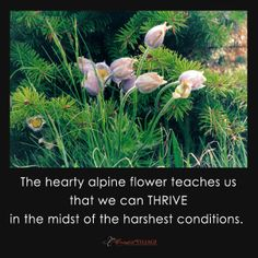 The hearty alpine flower teaches us the we can THRIVE in the midst of the harshest conditions.