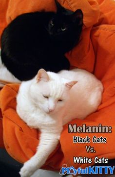 Did you know that your cat's coat color is pigmented by the same thing that colors your skin? #cats #science
