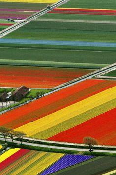 Aerial View Of Tulip Flower Fields