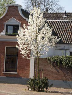 Magnolia Kobus - Tulpenboom http://pratec.nl/product-categorie/bomen/?orderby=price&filtering=1&filter_latijnse-naam=18 In de lente verschijnen niet alleen tulpen uit de grond, maar ook aan de magnolia.