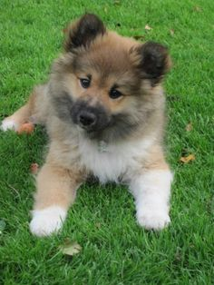 Small Puppies, Small Dogs, Cute Puppies, Dogs And Puppies, Sheep Dog Puppy, Icelandic Sheepdog, Pet Dogs, Pets, Puppy Eyes