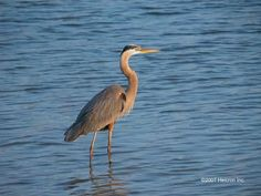 Great Blue Heron - Tarpon Springs, Florida