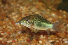 Green/Bronze Corycat (Corydoras aeneus)   #fish #aquarium #catfish