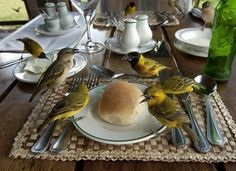 """Photograph by Joel Sartore  From """"Visions of Earth,"""" National Geographic, March 2012  Uganda—On a lodge terrace in Queen Elizabeth National Park, a photographer's butter and roll prove irresistible to the local weaverbirds, known for their skill in building nests."""