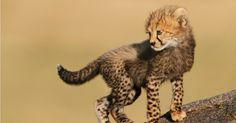 Um filho de guepardo de seis semanas observa seu habitat no Parque Nacional do Serengeti, Tanzânia. No mundo todo, o número de guepardos despencou de cerca de 100 mil em 1900 para menos de 10 mil atualmente