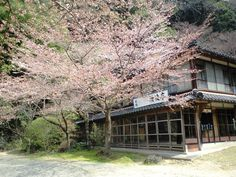 Japanese old house and cherry blossoms