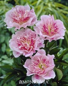 Peonies are easy to grow, deer-resistant perennials that require a cool winter climate to satisfy dormancy requirements. Award-winning single is pale shell-pink. Exotic Flowers, Pink Flowers, Beautiful Flowers, Peony Flower, My Flower, Deer Resistant Perennials, Peonies Garden, Bulb Flowers, Flower Pictures