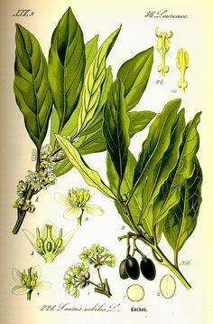 alloro - Laurus nobilis