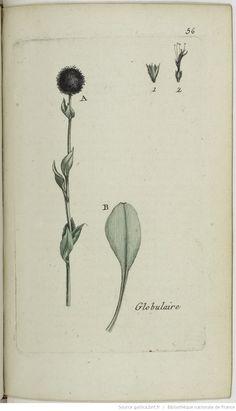 GLOBULARIA - Globularia vulgaris. La globulaire / La boulette / La marguerite bleue