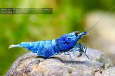 Blue Bolt Taiwan Bee Shrimp (Caridina cantonensis sp.),  bred by Marcus Haferman, photographed by Chris Lukhaup. Flickr.