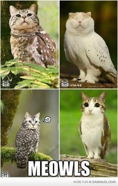 """With Cat Heads Are Totally Creepy-Cute Haha! """"Meowls"""" - owls with cat's heads! """"Meowls"""" - owls with cat's heads! Crazy Cat Lady, Crazy Cats, I Love Cats, Cute Cats, Funny Cute, Hilarious, Stupid Funny, Animal Pictures, Funny Pictures"""
