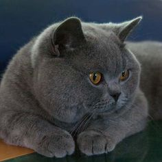 British Blue Shorthair... I want this kitty