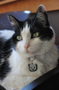 Diego is a handsome kitty, showing off his Trupanion pet insurance tag