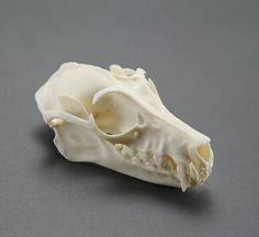 flying fox skull replica by skullery on Etsy, $22.00