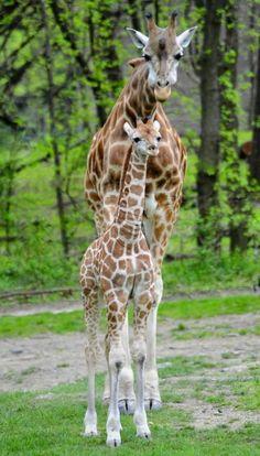 giraffes! #giraffes #giraffelovers