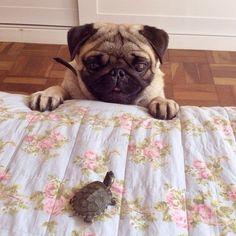 Esta amizade sólida entre um pug e uma tartaruguinha.