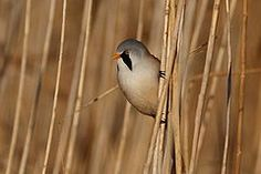 Bearded Reedling  Denmark. The Bearded Reedling (Panurus biarmicus) is a small, sexually dimorphic reed-bed passerine bird. It is frequently known as the Bearded Tit.This species is a wetland specialist, breeding colonially in large reed beds by lakes or swamps. It eats reed aphids in summer, and reed seeds in winter, its digestive system changing to cope with the very different seasonal diets.