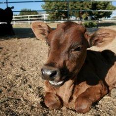 Succede nel 2011 in Texas: quattro vitellini vengono salvati da una vita di abusi presso l'E6 Cattle Ranch, un'azienda di bestiame. Portati subito via alle loro mamme, sarebbero stati rinchiusi in luoghi angusti, maltrattati, per poi essere uccisi. E' a questo punto che entra in azione Mercy for Animals, in collaborazione con The Gentle Barn...