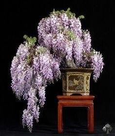 Wisteria tree. Wow they look so pretty. Please check out my website thanks. www.photopix.co.nz