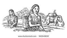 Female Tea Pickers Harvesting leaves on plantation and rider on elephant. engraved vintage isolated illustration for label, poster, web. Black on white background.