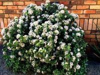 Crassula ovata, Jade Plant; Pink Joy