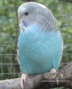 118 Best Turquoise budgies images in 2018 | Parakeets