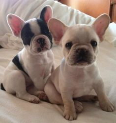 2 wee Frenchies...