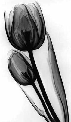 x-ray | flower : tulip | artwork : Flower II : Albert Koetsier | x-ray | ram2013