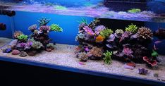 Rimless, SPS dominate with open aquascaping. Very nice.