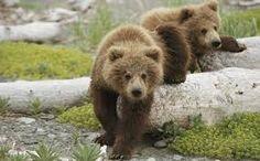 Αποτέλεσμα εικόνας για ζαγοροχωρια Bear Wallpaper, Cool Wallpaper, Arctic Polar Bears, Grizzly Bears, Fuzzy Wuzzy, Bear Cubs, Nature Animals, Wild Animals, Fauna